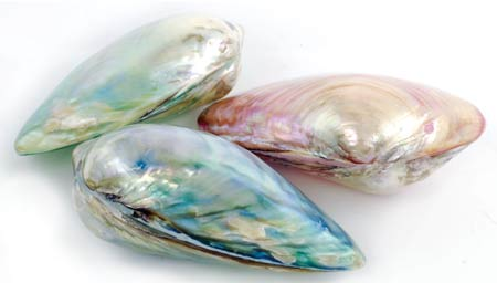 Pearlized River Shell